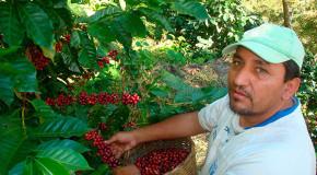 Prevén exportar 8.3 millones de sacos de café en 2015-2016