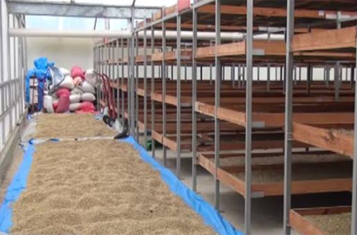 Cortadores de café imponen los precios en Copán